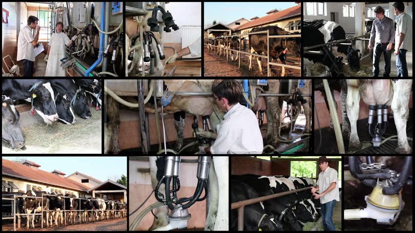 Cum iti organizezi in detaliu ferma de vaci-min